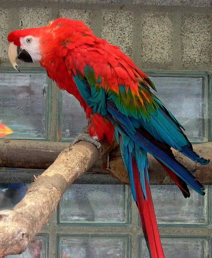 Birds , 8 Cool Green Wing Macaw : Green Winged Macaw