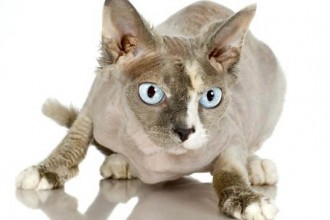 Hairless Cat Pictures in Genetics