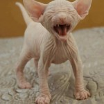 Hairless cat , 7 Nice Pictures Of Hairless Cats In Cat Category