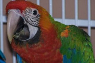 Harlequin Macaws , 8 Unique Macaw Breeders In Birds Category