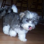 Havanese Breeder , 6 Cute Havanese Dogs Pictures In Dog Category
