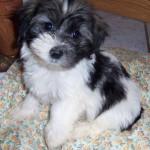Havanese Breeder , 6 Outstanding Havanese Dog Pictures In Dog Category