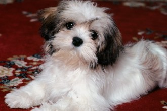 Havanese Dog in Cat