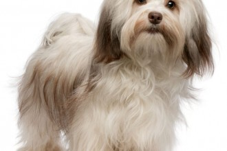 Havanese Dog Puppies , 6 Outstanding Havanese Dog Pictures In Dog Category