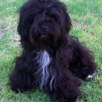 Havanese Dogs , 6 Cute Havanese Dogs Pictures In Dog Category