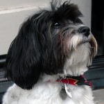 Havanese Dogs Puppies , 6 Outstanding Havanese Dog Pictures In Dog Category