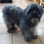 Havanese Dogs , 6 Outstanding Havanese Dog Pictures In Dog Category