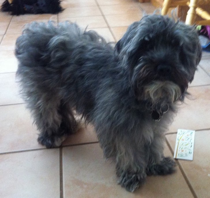Dog , 6 Outstanding Havanese Dog Pictures : Havanese Dogs