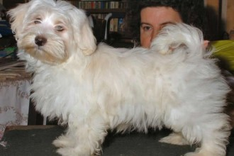 Havanese Puppies Pictures , 6 Outstanding Havanese Dog Pictures In Dog Category