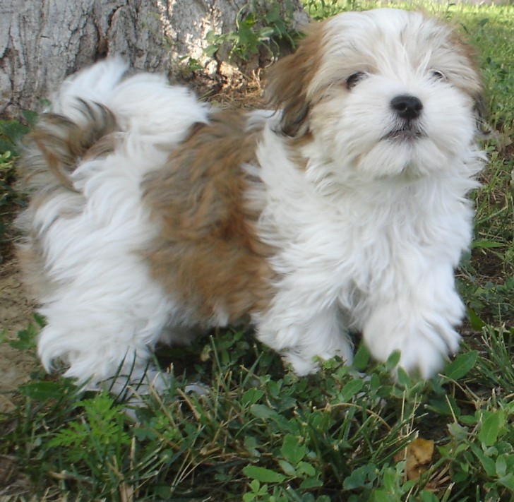 Dog , 7 Awesome Pictures Of Havanese Dogs : Havanese Puppies