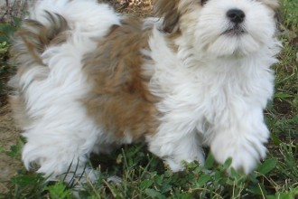 Havanese Puppies in Plants