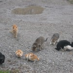 Herding cat , 5 Excellent Herding Cats Picture In Cat Category