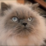 Himalayan , 7 Cute Pictures Of Himalayan Cats In Cat Category