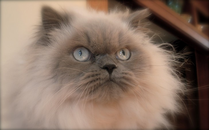 Cat , 7 Cute Pictures Of Himalayan Cats : Himalayan