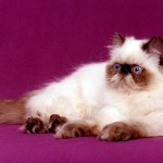 Himalayan Cat , 7 Charming Himalayan Cat Pictures In Cat Category