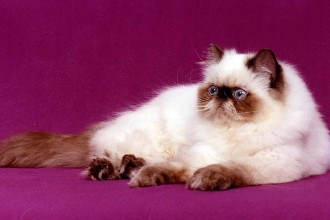 Himalayan Cat in Spider