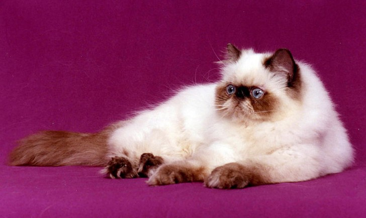 Cat , 7 Charming Himalayan Cat Pictures : Himalayan Cat