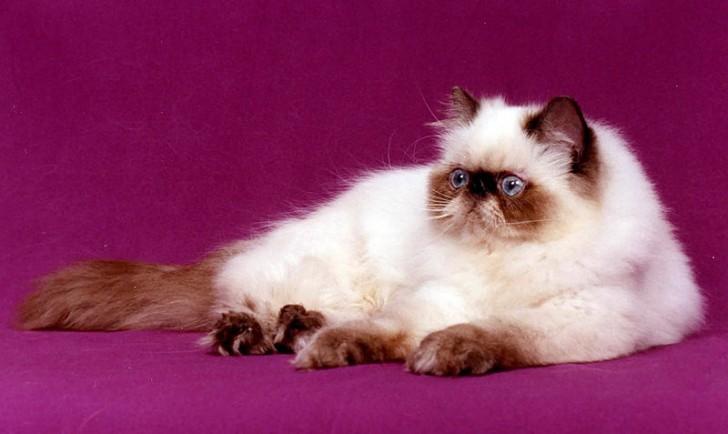 Cat , 7 Charming Himalayan Cat Pictures : Himalayan Cat