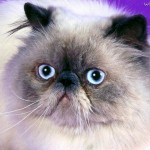 Himalayan Cat Blue Point , 7 Cute Pictures Of Himalayan Cats In Cat Category