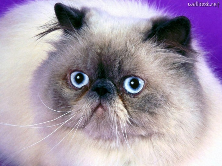 Cat , 7 Cute Pictures Of Himalayan Cats : Himalayan Cat Blue Point