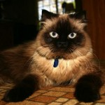 Himalayan Cat Pictures , 7 Charming Himalayan Cat Pictures In Cat Category
