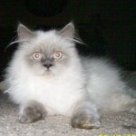 Himalayan Kitten , 7 Cute Pictures Of Himalayan Cats In Cat Category