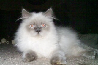 Himalayan Kitten in Cat