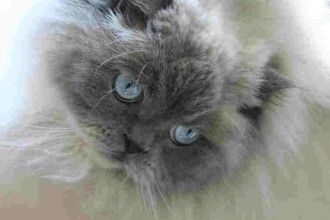Himalayan Kittens in Genetics