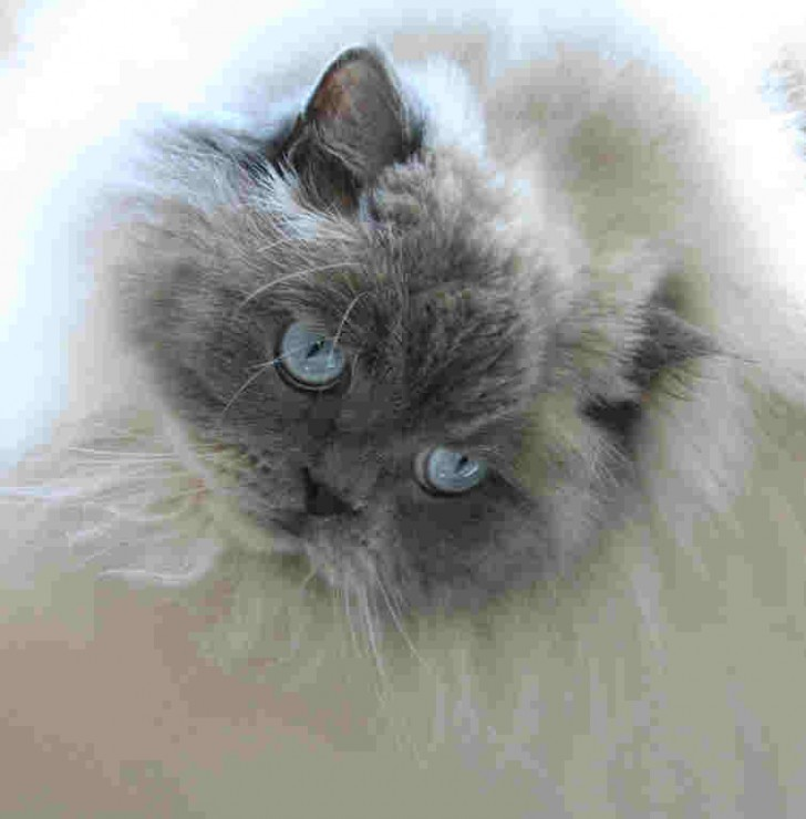 Cat , 7 Cute Pictures Of Himalayan Cats : Himalayan Kittens