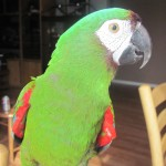 Homed Severe Macaw , 8 Fabulous Severe Macaw In Birds Category