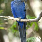 Hyacinth Macaw Facts , 8 Beautiful Macaw Facts In Birds Category