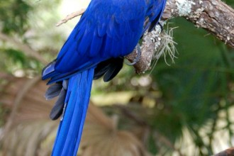 Hyacinth Macaw Most Expensive , 8 Wonderful Hyacinth Macaws In Birds Category