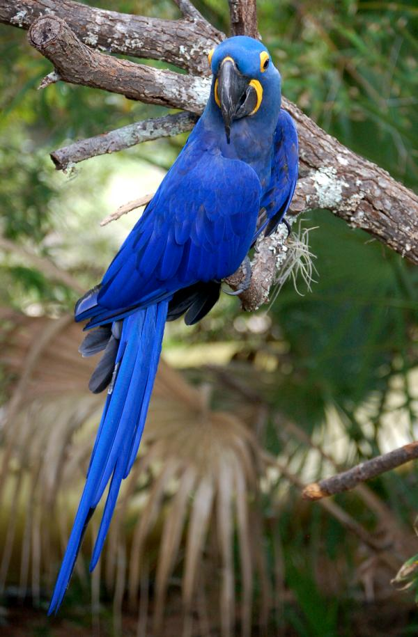 Birds , 8 Wonderful Hyacinth Macaws : Hyacinth Macaw Most Expensive