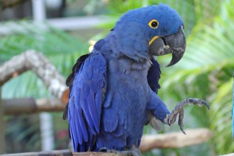 Hyacinth Macaw RWD , 7 Cool Hyacinth Macaws In Birds Category