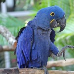 Hyacinth Macaw RWD , 8 Wonderful Hyacinth Macaws In Birds Category