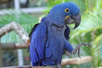 Hyacinth Macaw RWD , 8 Wonderful Hyacinth Macaws In Birds Category