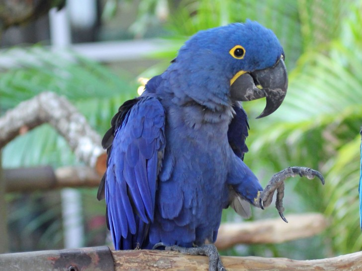 Birds , 8 Wonderful Hyacinth Macaws : Hyacinth Macaw RWD