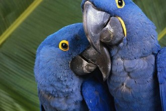 Hyacinth Macaw couple in Laboratory