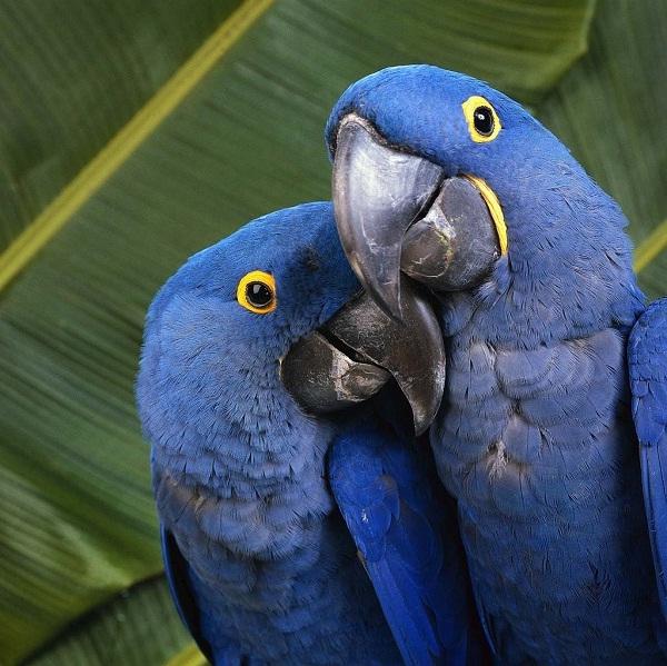Birds , 7 Nice Parrot Cage Hyacinth Macaw : Hyacinth Macaw Couple