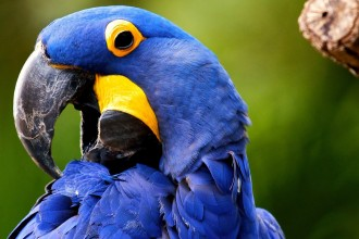 Hyacinth Macaw Wallpaper , 8 Wonderful Hyacinth Macaws In Birds Category