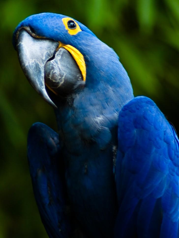 Birds , 7 Cool Hyacinth Macaws : Hyacinth Macaw
