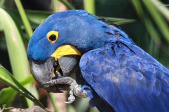 Hyacinth Macaw , 8 Wonderful Hyacinth Macaws In Birds Category