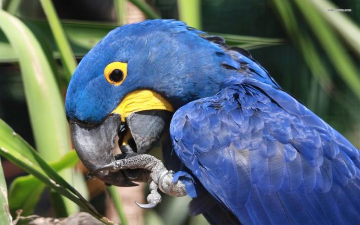 Birds , 8 Wonderful Hyacinth Macaws : Hyacinth Macaw