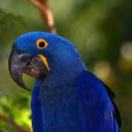 Hyacinth Macaw , 8 Wonderful Hyacinth Macaws In Birds Category