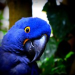 Hyacinth Macaw , 8 Wonderful Blue Hyacinth Macaw In Birds Category