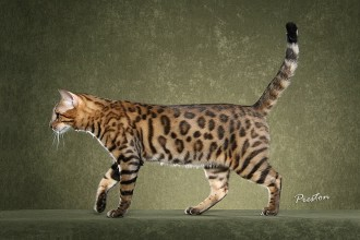 Image Bengal Cat , 7 Charming Pictures Of Bengal Cats In Cat Category