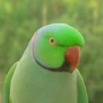 Indian Ringneck Parakeet , 8 Nice Ringneck Parrot In Birds Category