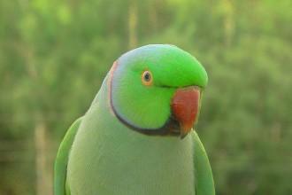 Indian Ringneck Parakeet , 8 Nice Ringneck Parrot In Birds Category