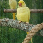 Indian Ringneck Parakeet , 8 Nice Indian Ringneck Parrot In Birds Category