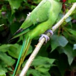 Indian ring neck Parrot , 8 Nice Indian Ringneck Parrot In Birds Category